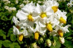 Цветы картофеля для лечения миомы матки