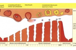 Нормальный менструальный цикл у женщины